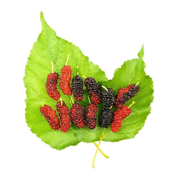 มัลเบอร์รี (Mulberry)
